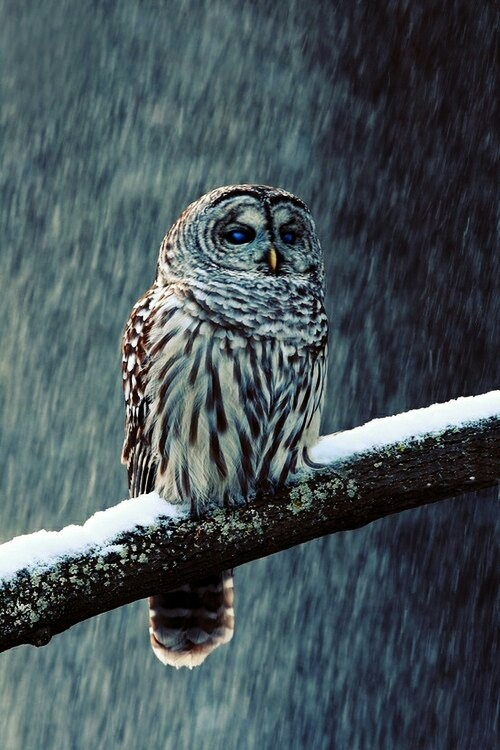 Barred Owl photographed  by Alex Thompson