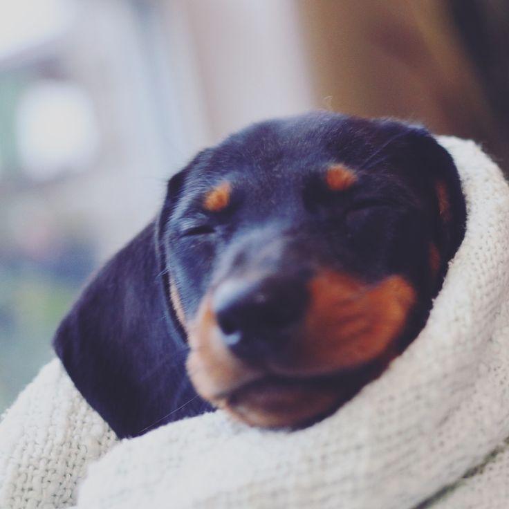 Gigsy at 7.5 weeks dachshund, Doxie, wiener dog