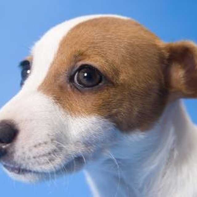 Parson Russell Terriers are spirited and lively dogs.