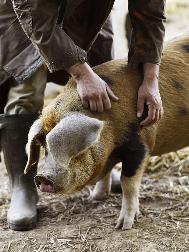 Pig at Walnuts Farm