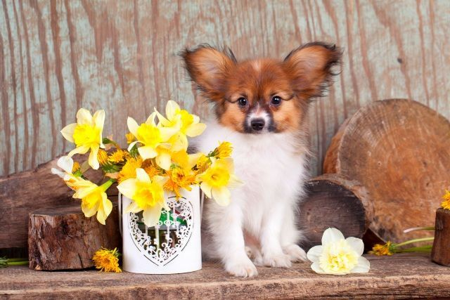 Папильон (фото): собака-бабочка с удивительным характером