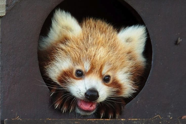 Red pandas ain't so shabby themselves. | This Year's 45 Most Lovable Baby AnimalPictures