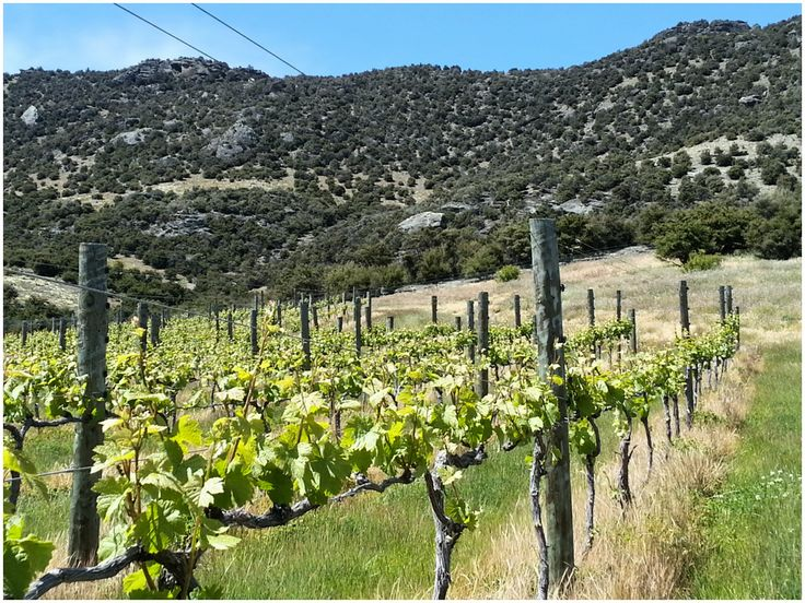 Wire lifting at the Bendigo Vineyard today ... all tucked up. Gorgeous day. #Central Otago