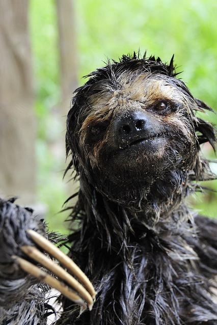 Sloth Portrait (sholaisen)