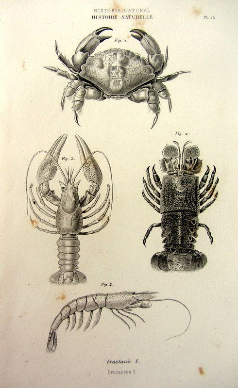 1852 Antique french crustaceans engraving by LyraNebulaPrints, $23.95