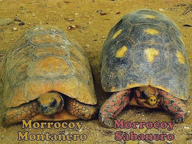 Seguramente conoces al morrocoy verdad?. Pero sabías que en Venezuela existen dos especies de tortugas terrestres?  El morrocoy sabanero y el morrocoy montañero. Ambas especies están protegidas y se encuentran amenazadas por la cacería ilegal y por la destrucción de sus hábitats.  También la cacería ilegal ha llevado a una sobreexplotación de las poblaciones de estas tortugas.  Ahora que inicia la semana santa los morrocoyes galápagos e incluso las tortugas marinas son objeto de una cacería…