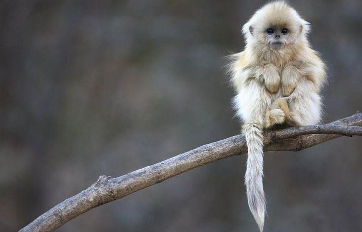 Just doing monkey stuffs.: Baby Monkey, Cute Baby, Golden Snubno, So Cute, Snubno Monkey, Nose Monkey, Cute Monkey, Snub Nose, Cutest Monkey