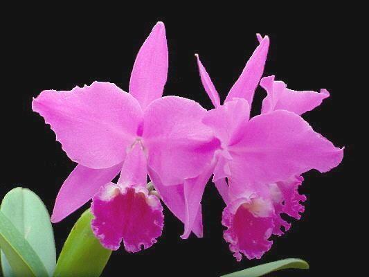 Orquídeas sem segredos; Cultivo de orquídeas; Dicas orquídeas; Orquídeas #cultivos