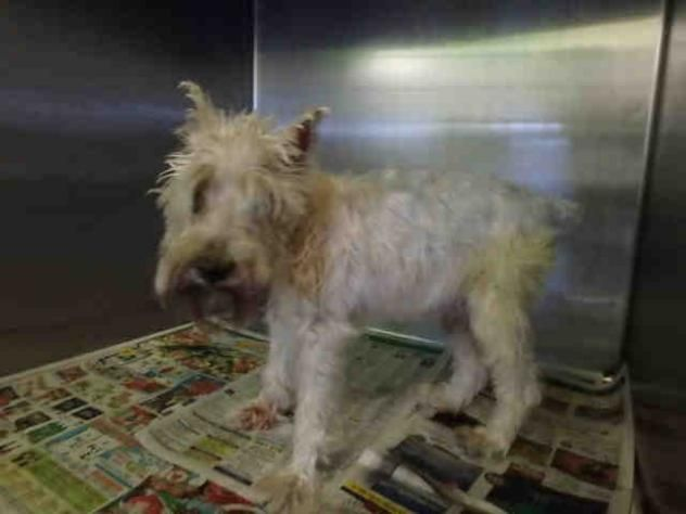 A1647558 - URGENT - CITY OF LOS ANGELES SOUTH LA ANIMAL SHELTER in Los Angeles, CA - Senior Neutered Male Schnauzer Mix