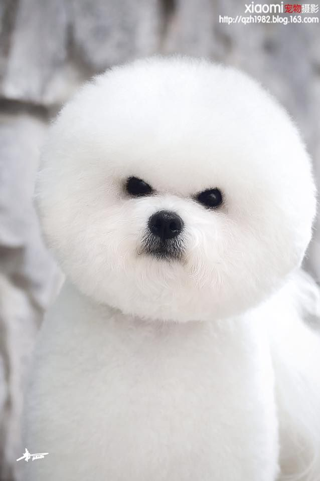 16 Best Bichon Grooming Hairstyles Images On Pinterest