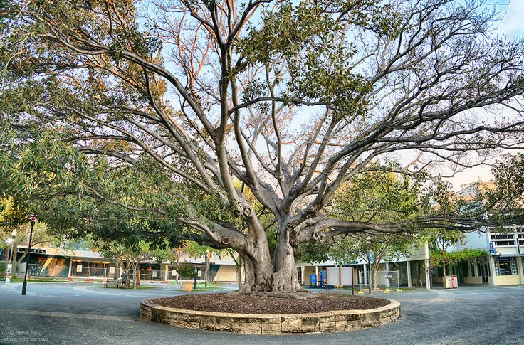 fig tree in #Fremantle, #thisisWA