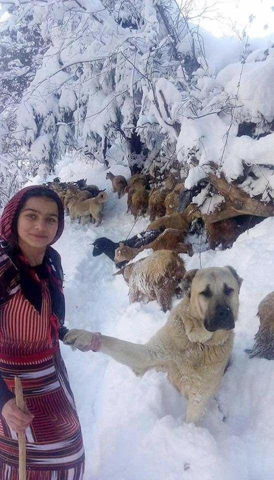 Keçi çobanı kız doğum yapan keçiyi kucağına , bebek keçiyi köpeğin heybesine koyuyor ve karda yürüyerek  eve ulaşıyor.