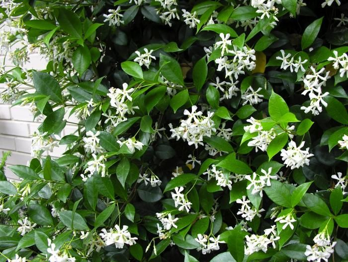 Confederate (or Star) Jasmine Vine-voracious growth and strong aroma;  Long lasting, bright white blooms; Low-maintenance; it is a twining, evergreen, woody perennial that grows as a vine in zones 8 to 10 (California, southwestern and southeastern US). Star Jasmine is considered a night-bloomer, with blossoms opening up in the early evening when temperatures cool down.