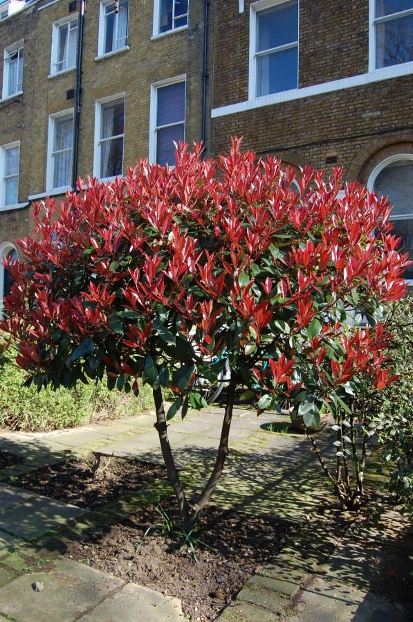 Photinia 'Red Robin' (glansmispel) verkleurt van rood naar groen en geeft mooie trossen witte bloemen en later blauwzwarte besjes. Bladhoudend