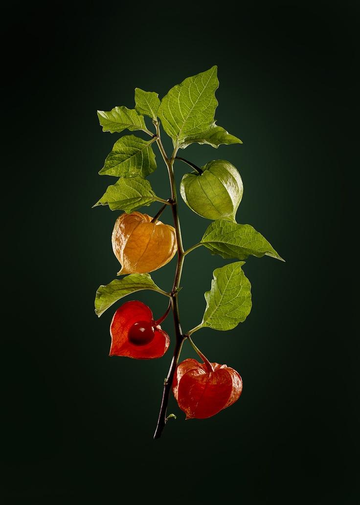 Les 25 meilleures id es de la cat gorie alk kenge sur pinterest roux tonnant cosses de - Amour en cage plante ...