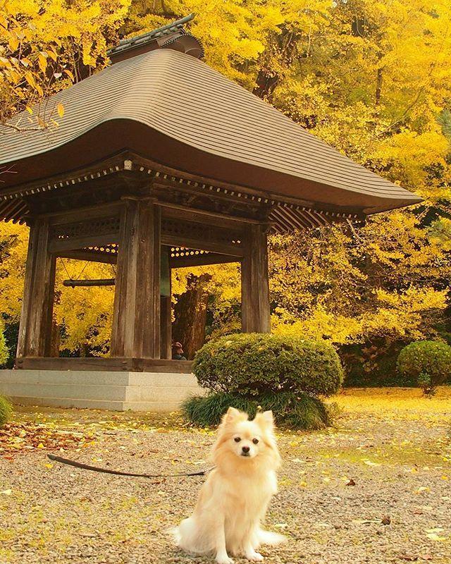 2017年11月11日(土) 今日は愛犬🐶と紅葉を見に行きました💛  明日から🐶みるく🐾と一緒に旅行に行くので楽しみ💗  #東京 #銀杏  #イチョウの木  #イチョウが綺麗  #イチョウ #いちょうの木 #綺麗  #いちめん黄色 #一面黄色  #愛犬 #みるく #ポメヨン #いぬ #犬 #わんこ #ワンコ #ふわもこ部 #いぬバカ部 #いぬのきもち #びゅうたび #紅葉 #japan #dogstagram_japan #dog #dogstagram #おてら #お寺