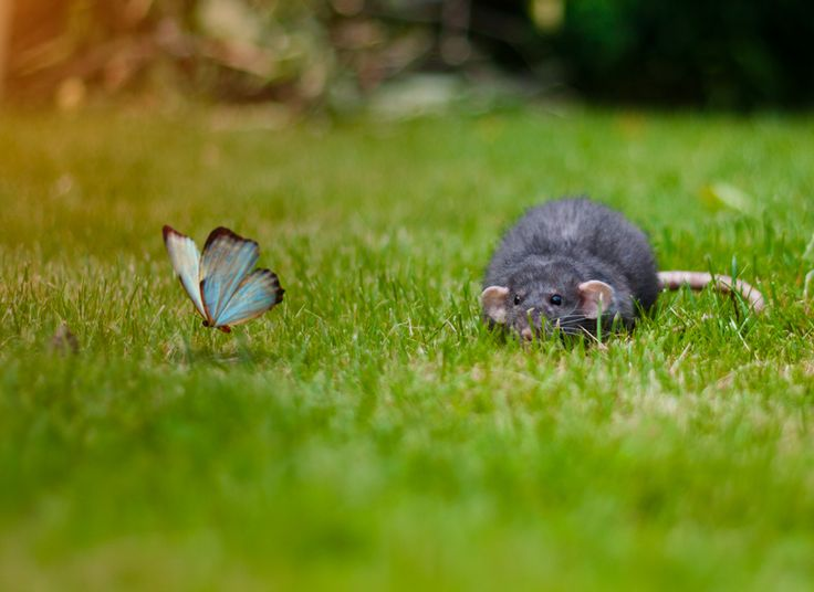 Awesome pic of an adorable dumbo rat and a butterfly!