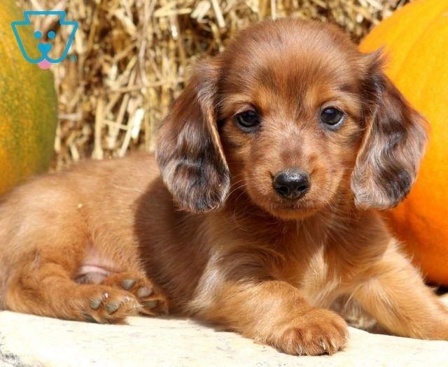 Charlie Brown Dachshund Puppies Dachshund Puppies For Sale