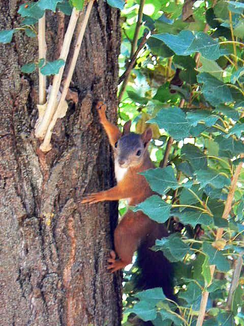 Squirrel - Mókus Photo: Beata Bauer