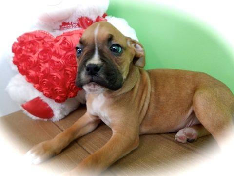 Boxer puppy for sale in HAMMOND, IN. ADN-25118 on PuppyFinder.com Gender: Male. Age: 9 Weeks Old