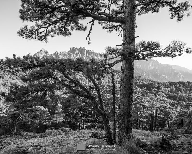 Bavella needles through pines, Bavella forest, Corsica, France, 2012 © Amaury Descours - All rights reserved
