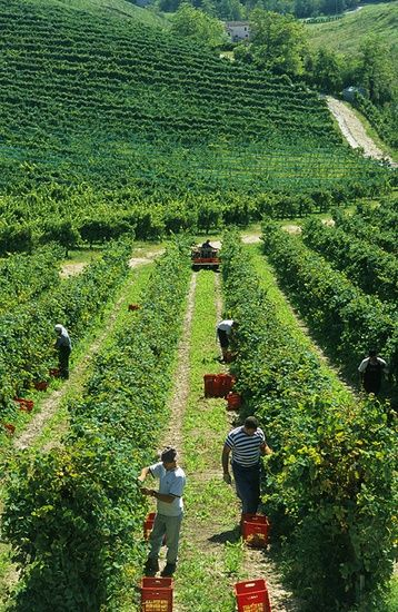 VINE HARVEST AT BISOL'S VINEYARDS IN ROLLE, VENETO, ITALY