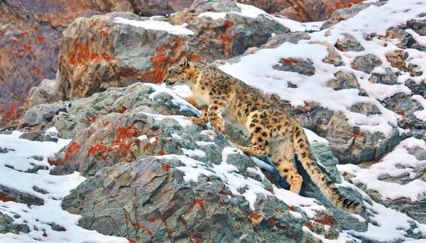 Icy lair A snow leopard spotted on the rocky slopes of Hemis national park, Ladakh. A keystone species, the Panthera uncia are indicators of the health of their high-altitude habitat — namely, the Third Pole