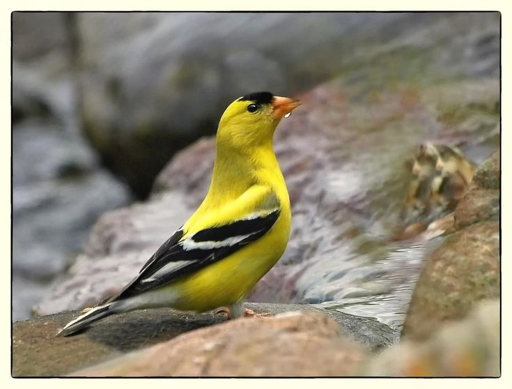 463 Best Amrica Goldfinch Images On Pinterest Goldfinch
