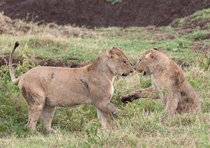 Lion cups playing in the rain. Ngorongoro crater