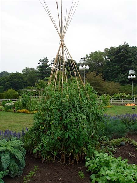How To Support Tomatoes With Bamboo Teepee Bonnie Plants 640 x 480