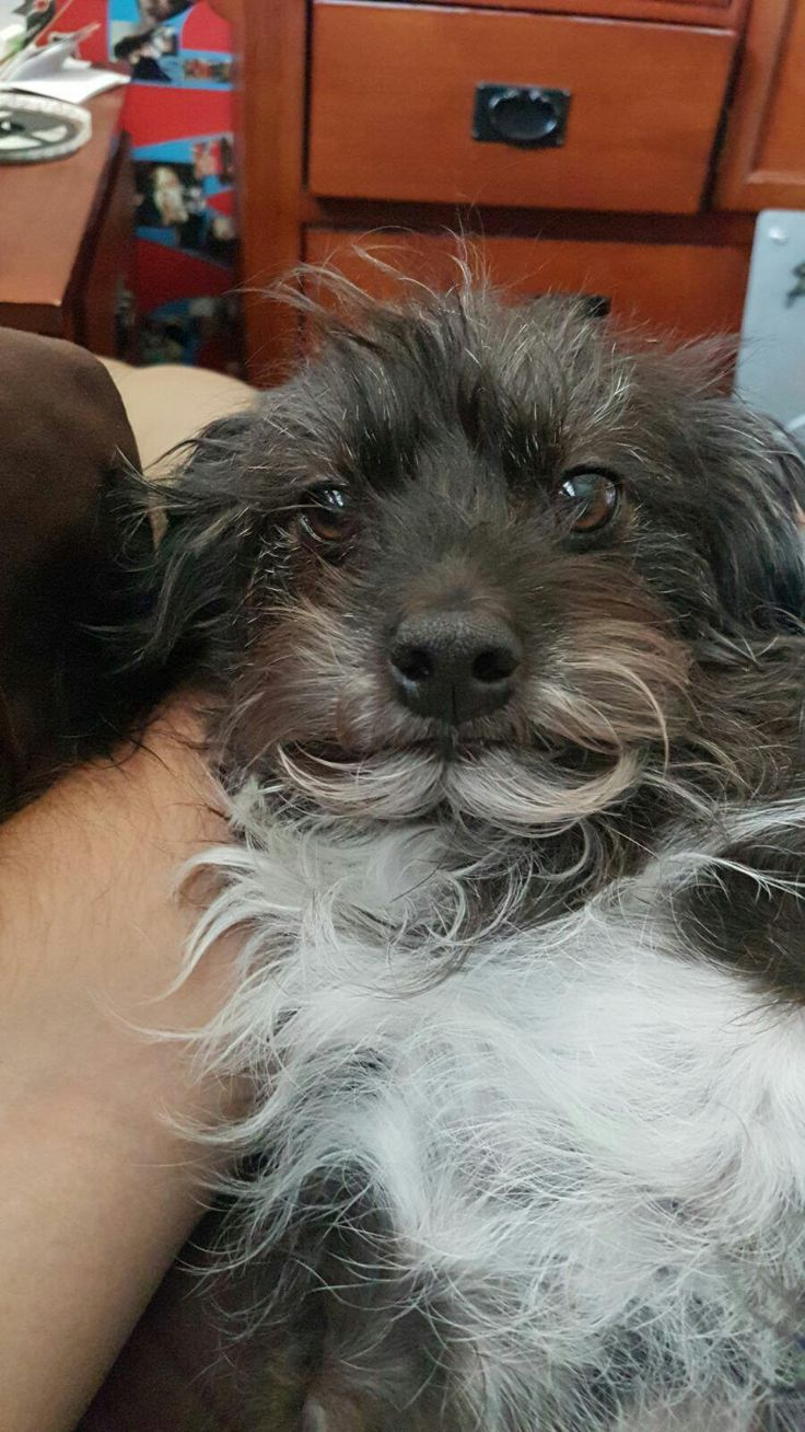 My dogs beard parted to form a mustache.