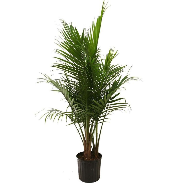 Best 25 Majesty Palm Ideas On Pinterest Potted Trees