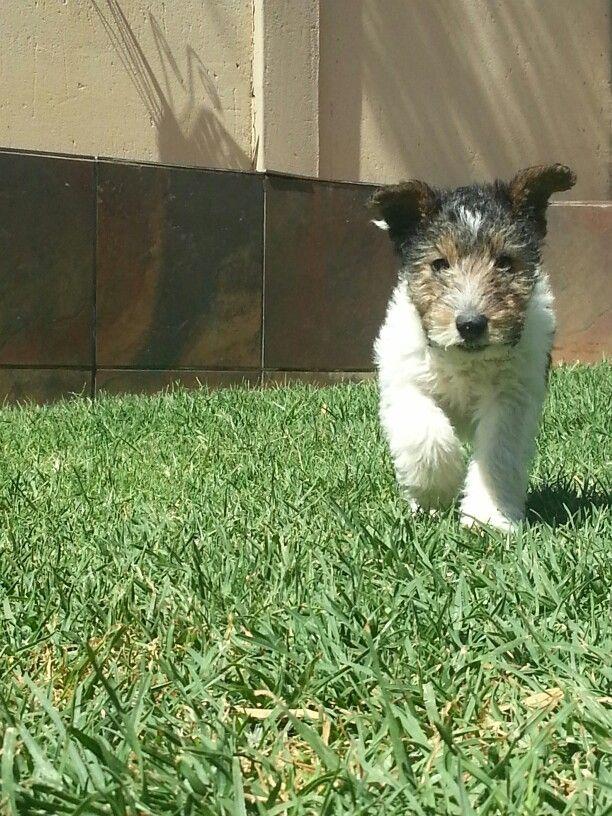 2768 besten For the love of fox-terrier Bilder auf Pinterest ...