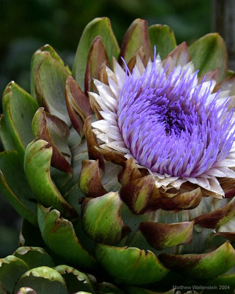 artichoke in bloom--what a surprisingly pretty flower--i love artichokes, even though i never quite figured out the proper way to eat them