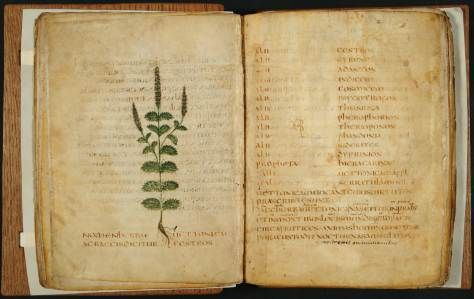 Book of Herbs, Italy 550-600   Leiden, Universiteitsbibliotheek   via Eric Kwakkel