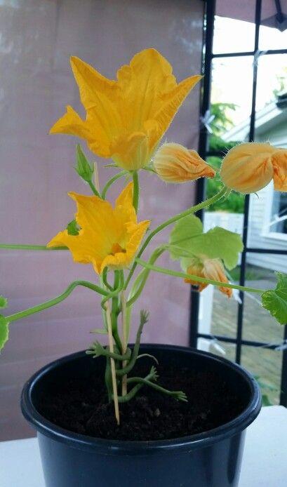Squashplanten stortrives - 17.6