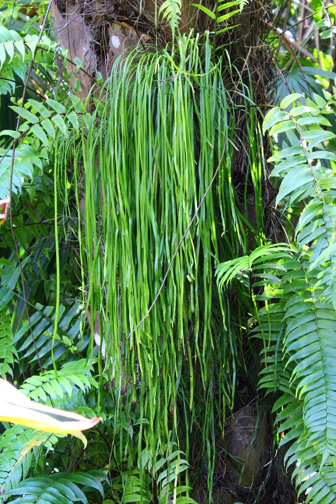 https://flic.kr/p/a8xm6j   Vittaria elongata (shoestring fern)   A big colony in Cairns Botanic Gardens. This genus has variously been placed in families Polypodiaceae, Vittariaceae and Adiantaceae. I think it is currently in Adiantaceae.