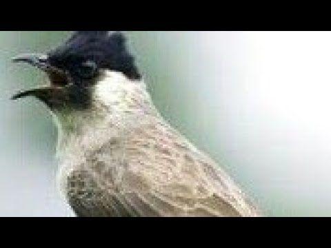 Burung Kutilang Gacor Pikat Mantap Terbaik Saat Ini Youtube Di 2020 Burung Alam Bebas Alam