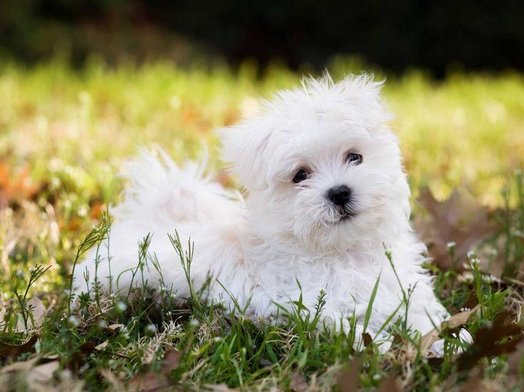 Maltese puppy Hypoallergenic