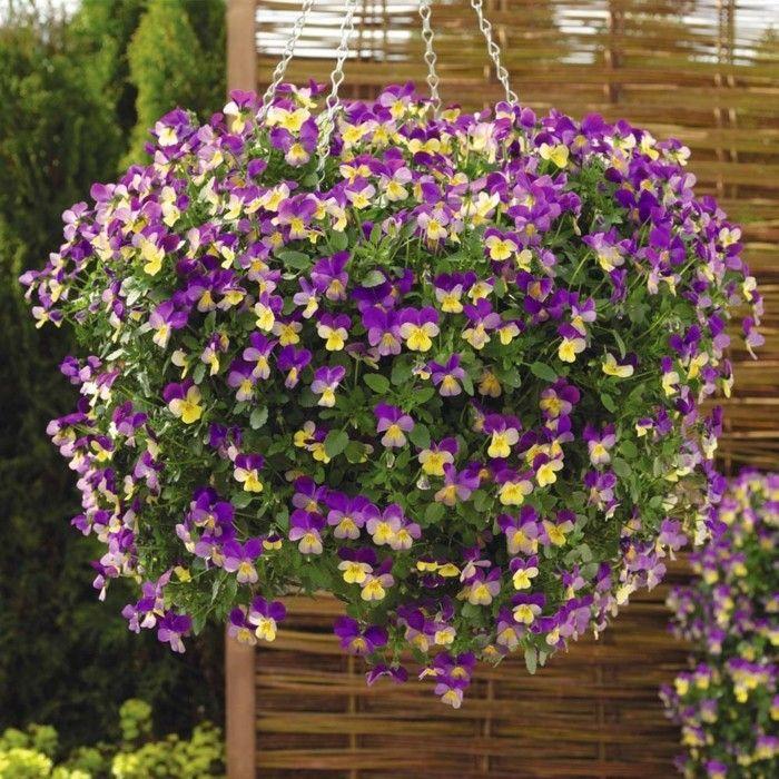 kuhles stiefmutterchen pflegetipps und nutzliche infos groß bild der dbbbedeaee hanging basket plants hanging flowers
