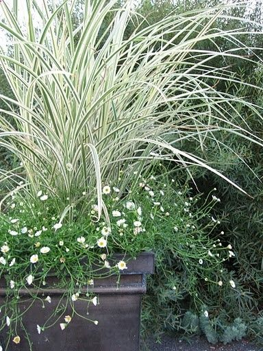 White variegated grass with white daisies and a square black pot.