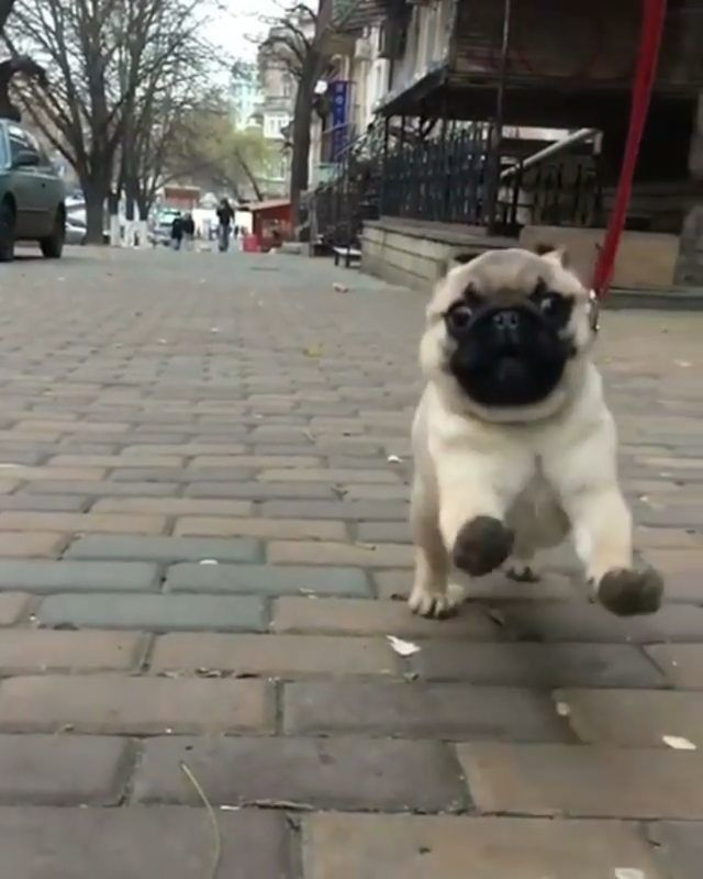 Follow Us Dogs Lovers Pug Puppies Pet Owners Pug Lover