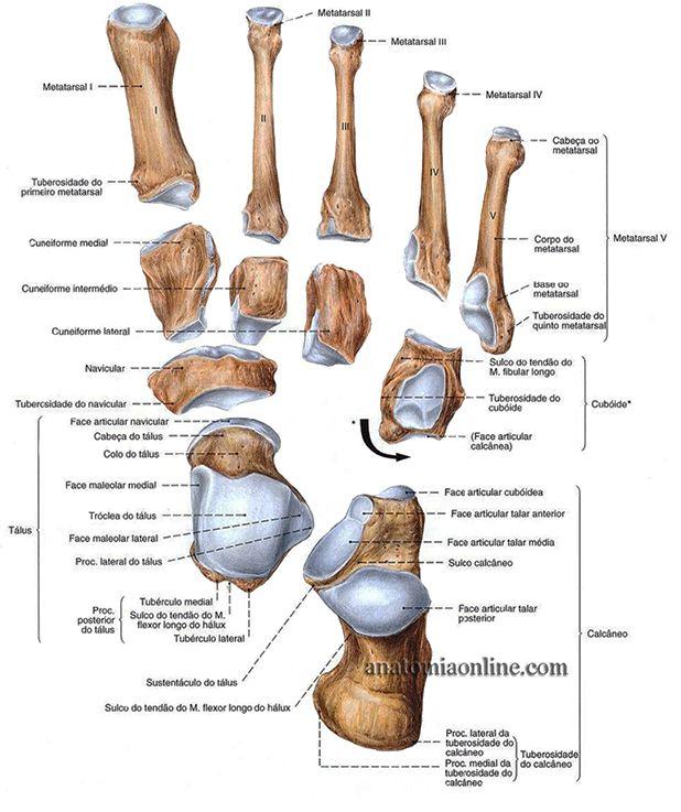 Anatomia Online Ossos Do Membro Inferior Com Imagens Ossos