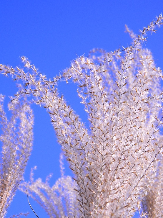 28 best images about ornamental plumes on pinterest for Blue ornamental grass varieties
