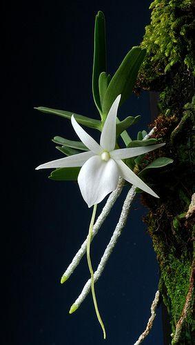 Angraecum didieri   by Phajus