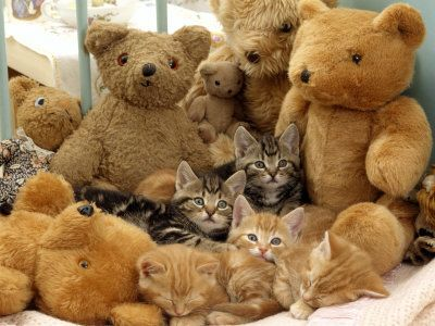 Domestic Cat, Five Kittens in Cot with Teddy Bears
