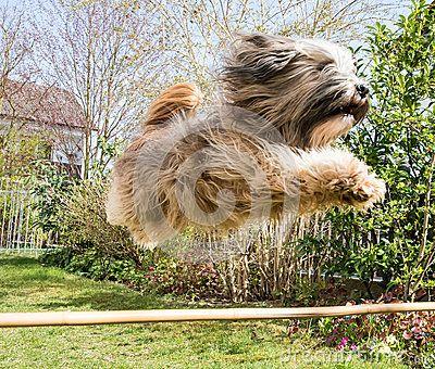 Flying Tibetan Terrier Dog