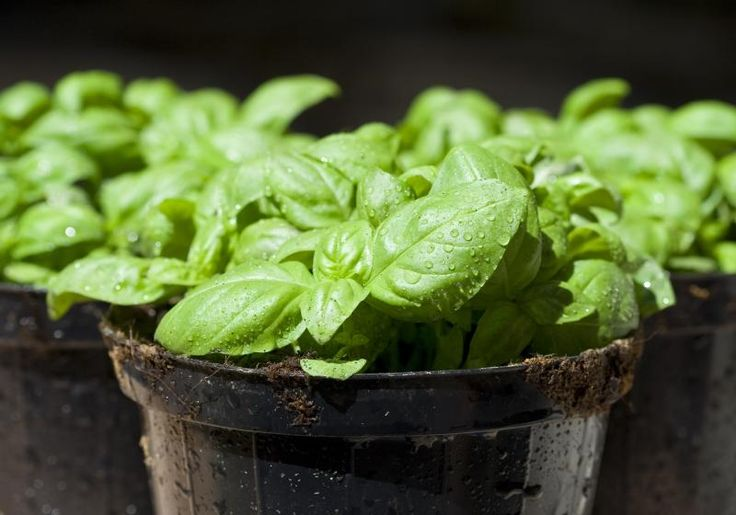How to Freeze Basil Leaves
