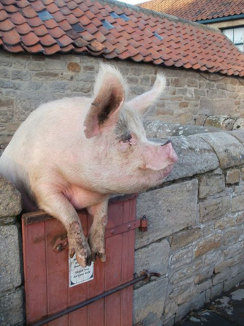 """""""A very large and contented-looking resident of Beamish Museum's Home Farm leans over the gate of his sty to attract the attention of passing visitors so that he can converse with them on the merits (or otherwise) of cooked breakfasts!""""    Photo: Colin Slater."""