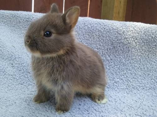 Netherland Dwarf :: Chocolate coat - Baby Bunny with a solid chocolate coat.